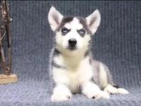 重庆出售哈士奇幼犬 重庆哪里有卖纯种哈士奇犬 品质有保证