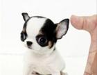 株洲哪有吉娃娃犬卖 株洲吉娃娃犬价格 株洲吉娃娃犬多少钱