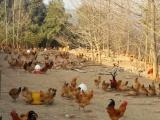 供应新疆绿壳蛋鸡苗/新疆土鸡苗/黑脚土鸡苗 价值很高