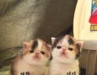 单血统三花双胞胎姐妹加菲猫