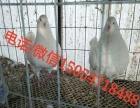 银王肉鸽种鸽价格种鸽养殖场