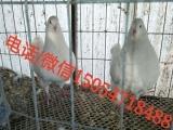银王肉鸽种鸽价格、一对青年鸽价格、鸽子养殖场