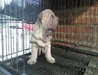 合肥犬舍直销精品沙皮幼犬 包纯种保健康 健康质保签协议