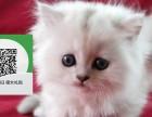 济南哪里卖金吉拉 济南哪里有宠物店 济南哪里卖宠物猫便宜