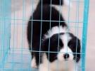 我们是江苏常州宠物养殖基地,只卖纯种(非要纯种勿扰)