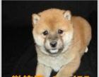 精灵宝贝,小柴犬,多窝出售,纯种健康,价格公道