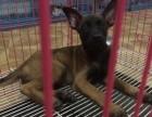 马犬纯种家养繁殖马犬出售精品家养活体宠物狗