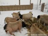 河北冠源香猪养殖合作社供应优质香猪种猪、