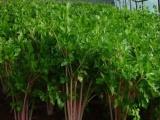 长期销售红芹菜种子 白芹菜种子 长期销售各种特色蔬菜瓜果种子
