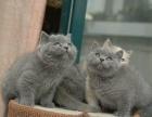 高品质包子脸 大眼睛英短蓝猫宝宝 免费送上门挑1