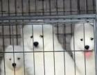 澳版赛级双血统纯种萨摩耶犬幼犬出售 适合家养宠物狗