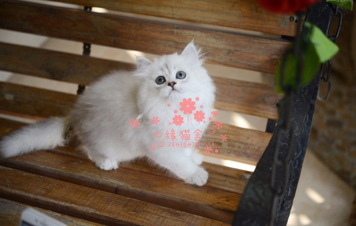 乌鲁木齐宠物 乌鲁木齐哪里的金吉拉较便宜纯种金吉拉一般卖多少
