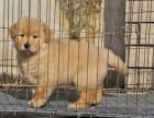 平顶山哪里有纯种金毛幼犬出售 金毛哪里的最好 多少钱