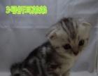 诚心寻找靠谱主子!立耳/折耳美短虎斑宠物猫