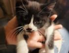 大连开发区收费让渡50天小奶猫一只身段安康为它求一名新主人