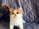 甘肃兰州双血统加菲猫一手出售