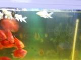 鹦鹉鱼个大色红出售