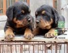 罗威纳哪有卖的/宠物店狗市在哪里