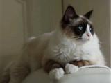 江西南昌纯种双血统布偶猫低价出售