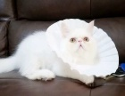 加菲猫纯黑色纯白色五个月了找新家