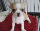 西安出售纯种吉娃娃幼犬超小体茶杯犬血统纯正迷你