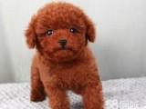 兰州犬舍出售精品泰迪犬一血统纯正一纯种健康
