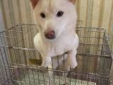 潮州出售各卡斯罗犬 杜宾犬 杜高犬等品种多样狗狗