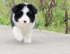 高品质赛级边牧幼犬 齐白通脖 签订终身纯种健康