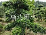 罗汉松价格庭院景观造型造型罗汉松 报价