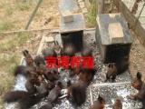京南雪地,魔王松鼠养殖繁育基地批发零售