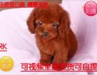 犬舍专业繁殖直销出生3个月的泰迪7只(5公/2母)