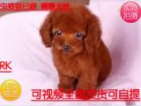 犬舍专业基地直销出售泰迪幼犬