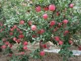 低价出售盈利中旅顺双岛自有20亩苹果园