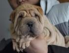 沙皮狗多少钱 犬舍直销高品质 各类纯种名犬