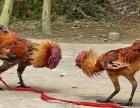 斗鸡 出售斗鸡