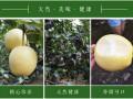 山东皇冠梨上市价格哪里有种植哪里梨便宜的