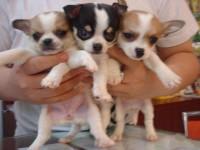 苏州吉娃娃一本地养殖狗场一直销各种世界名犬 常年售卖