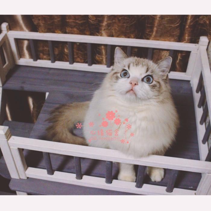 韶关哪里有卖布偶猫 韶关买布偶猫到哪里好