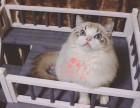 海口哪里有卖布偶猫 海口纯种布偶猫一只多少钱