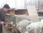 狐狸养殖技术 怎样养狐狸-养殖技术-大学生创业