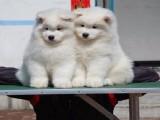 苏州萨摩耶一本地养殖狗场一直销各种世界名犬 常年售卖