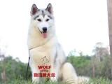 CKU注册犬舍 赛级哈士奇出售