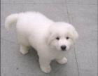 临沂 出售纯种大白熊宝宝,毛色漂亮活泼可爱疫苗齐