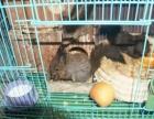 魔王松鼠出售,幼崽,可爱亲人的