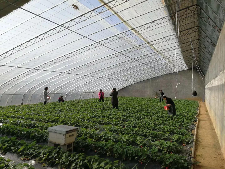 池上鹿疃草莓采摘园