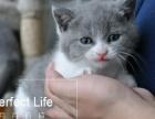 英国短毛蓝猫蓝白弟弟妹妹现猫