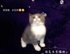 郑先生名猫馆宠物猫专卖