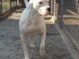 杜高犬幼犬纯血统狗 杜高犬价格
