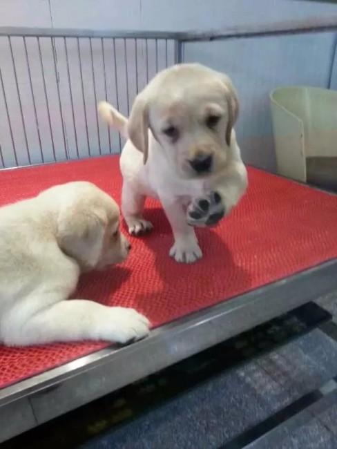 南京专业低价出售 拉拉 比熊泰迪 巴哥 博美萨摩耶犬品种齐全