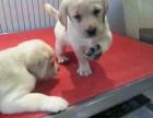 出售纯种拉布拉多幼犬 包犬瘟 细小 签健康协议